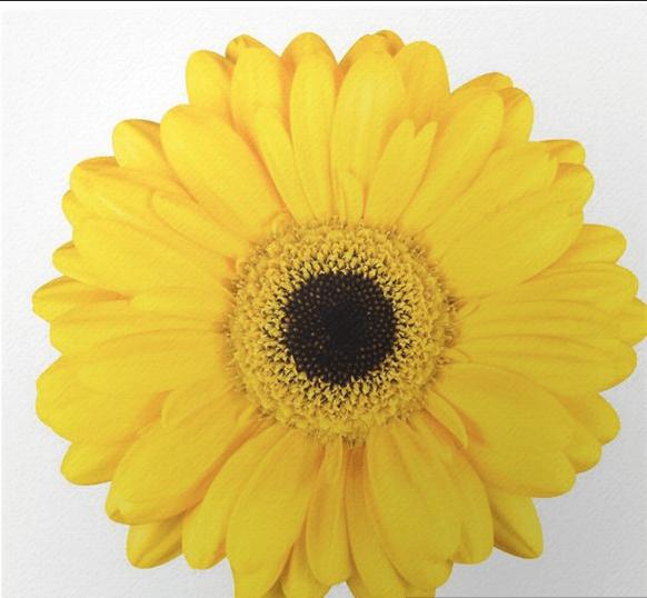 Ζερμπερα κιτρινη ανθοδεσμη