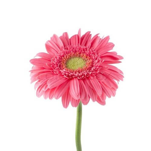 Ζερμπερα ροζ ανθοδεσμη