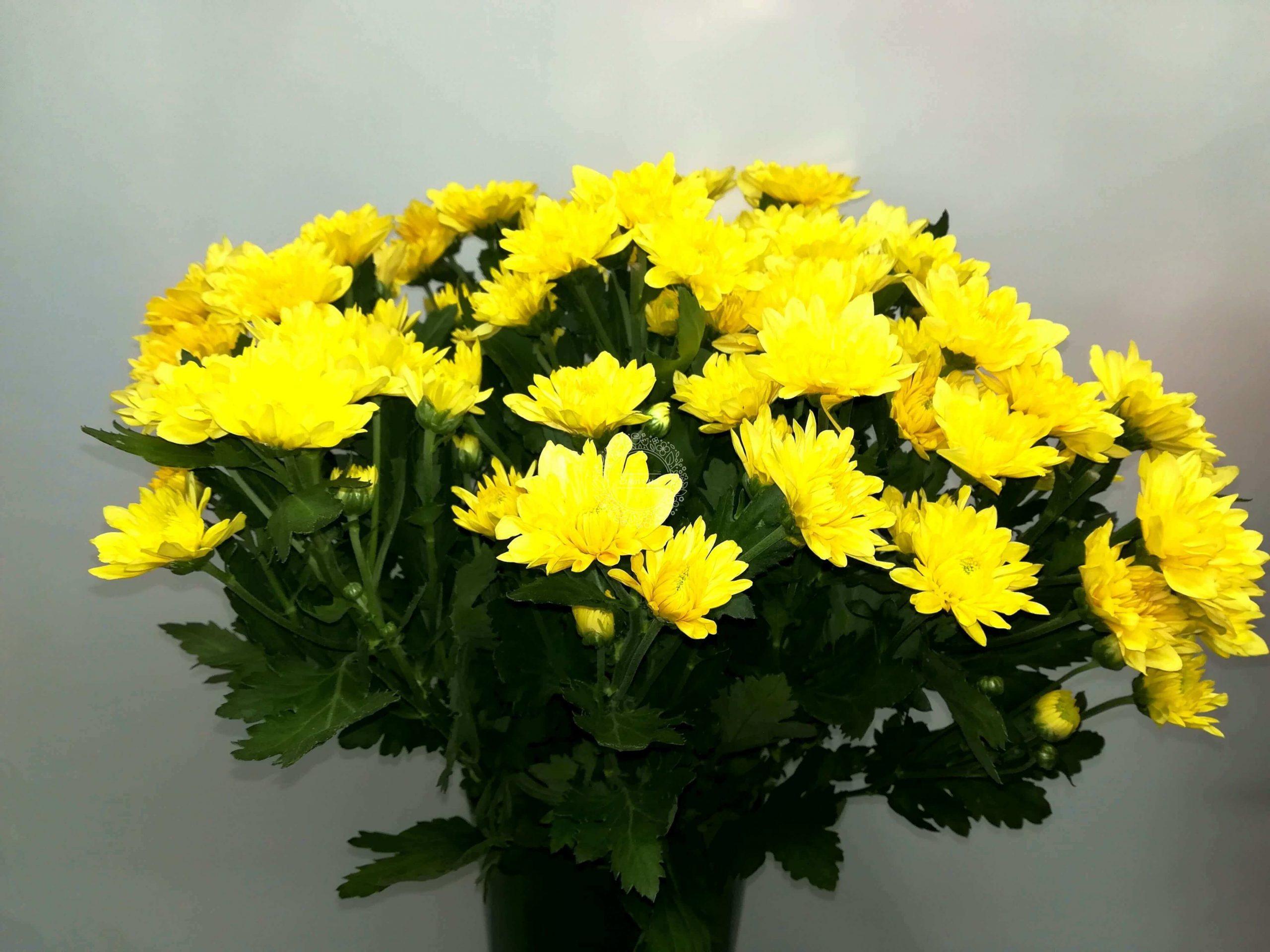 χρυσάνθεμα-κίτρινα ανθοδεσμη